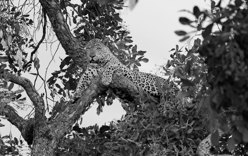 Si osserva la locanda di rilassamento del leopardo africano un albero in bianco e nero, Luangwa del sud, Zambia fotografia stock libera da diritti