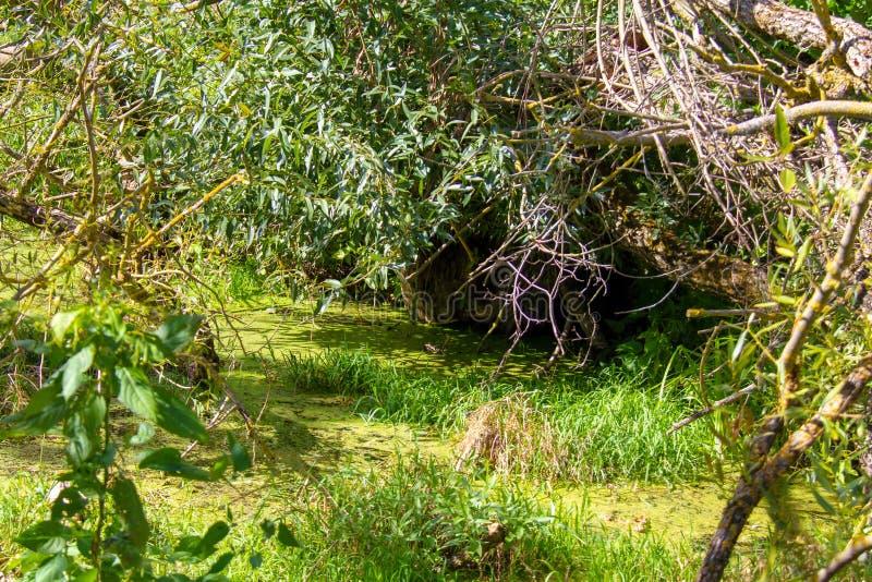 Si une rivière ou un marais, mais les castors vivent ici photo stock