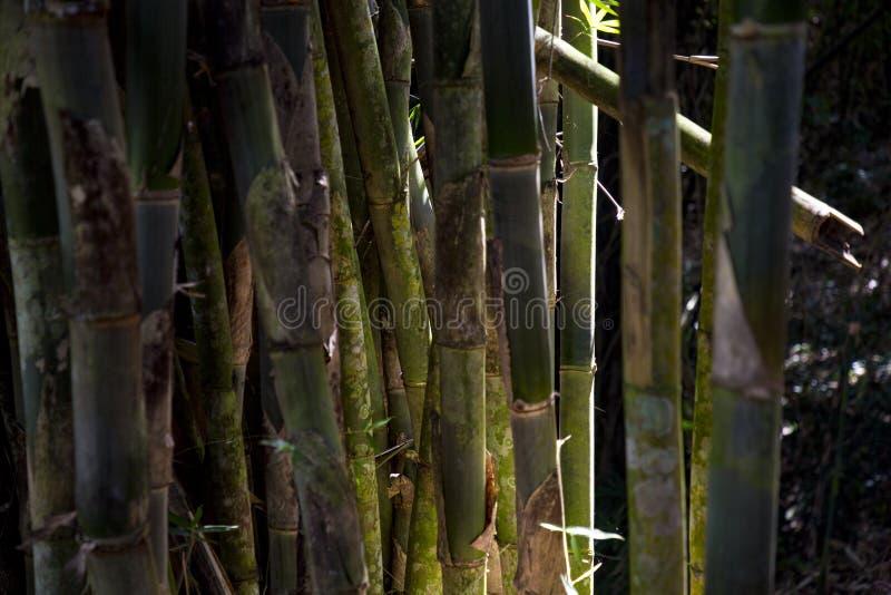 ?sia de bambu fotografia de stock royalty free