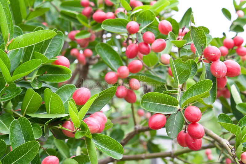 Sia frutta agile della ciliegia immagine stock libera da diritti