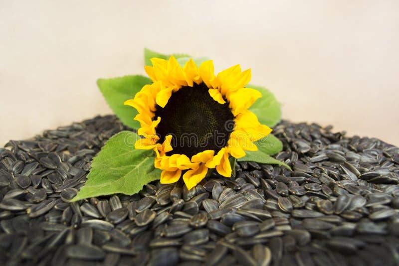 sia słonecznika zdjęcie royalty free