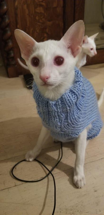 siamés, albino imagenes de archivo