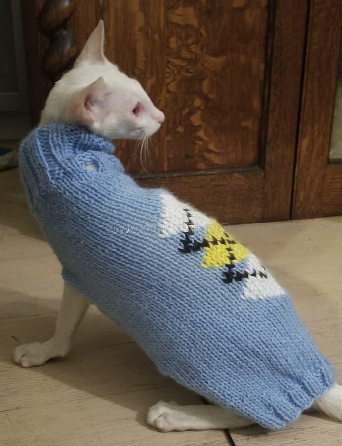 siamés en suéter fotografía de archivo libre de regalías