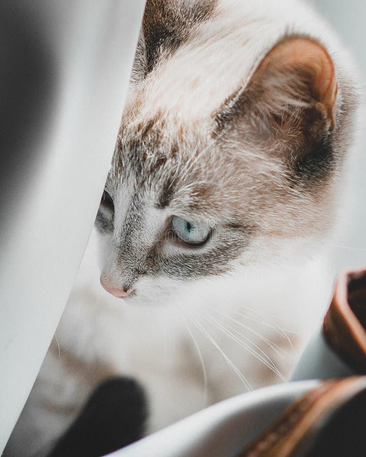 Siamês aponta o gato lince deitado gracioso nas cortinas imagens de stock royalty free