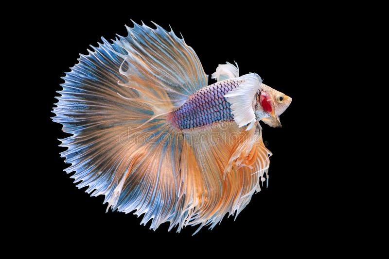 Siam betta fish in thailand. `Halfmoon Betta` capture the moving moment beautiful of siam betta fish in thailand on black background royalty free stock photography