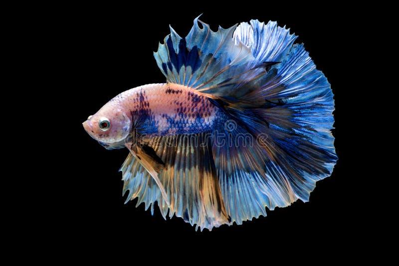 Siam betta ryba w Thailand zdjęcia royalty free