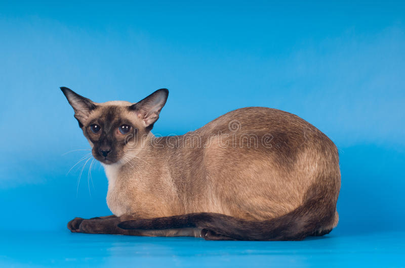 Siam cat on blue. Siam cat lying portrait on blue background stock photography