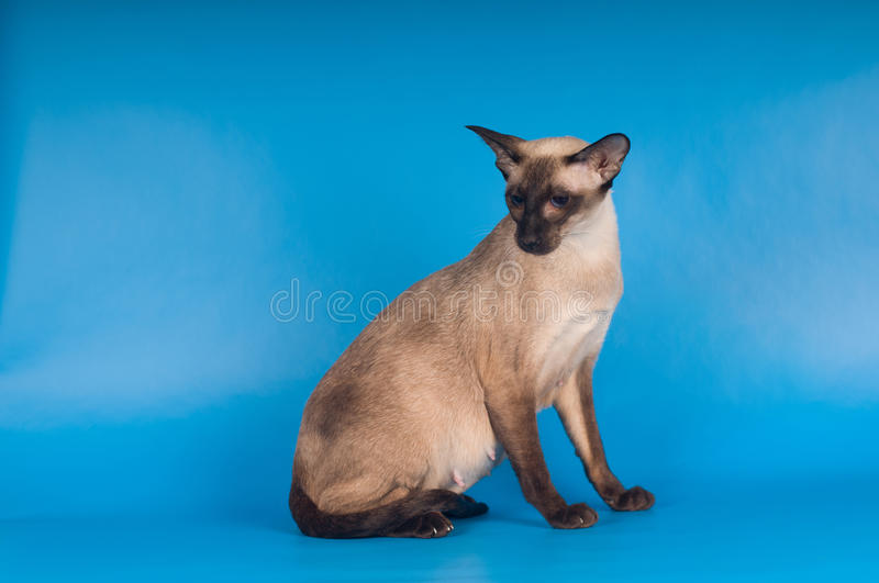 Siam cat on blue. Siam cat sits and looking down at studio stock images