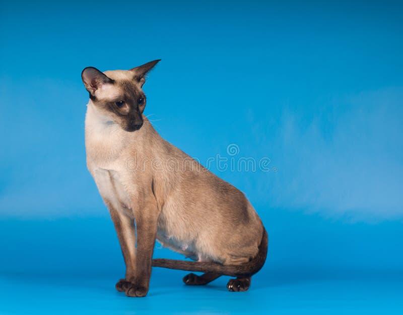 Siam cat on blue. Siam cat very elegant sitting on blue royalty free stock photo