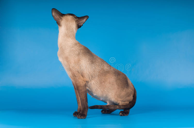 Siam cat on blue. Siam cat very elegant sitting on blue royalty free stock photo