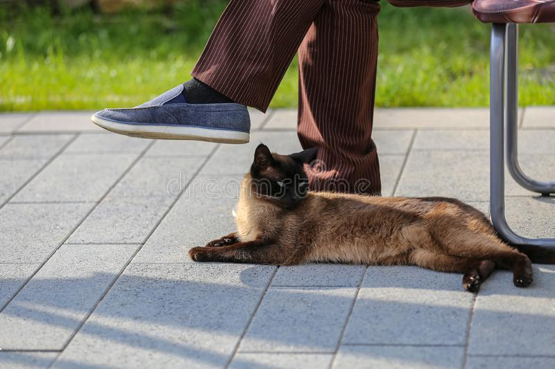 Siam cat lies at the feet of the owner.  royalty free stock photos