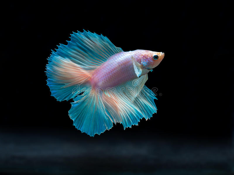 Siam fighting fish on black betta fish stock photo for Betta fish feeder