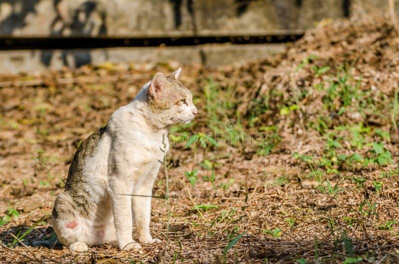 Siam-Katze stockfotos