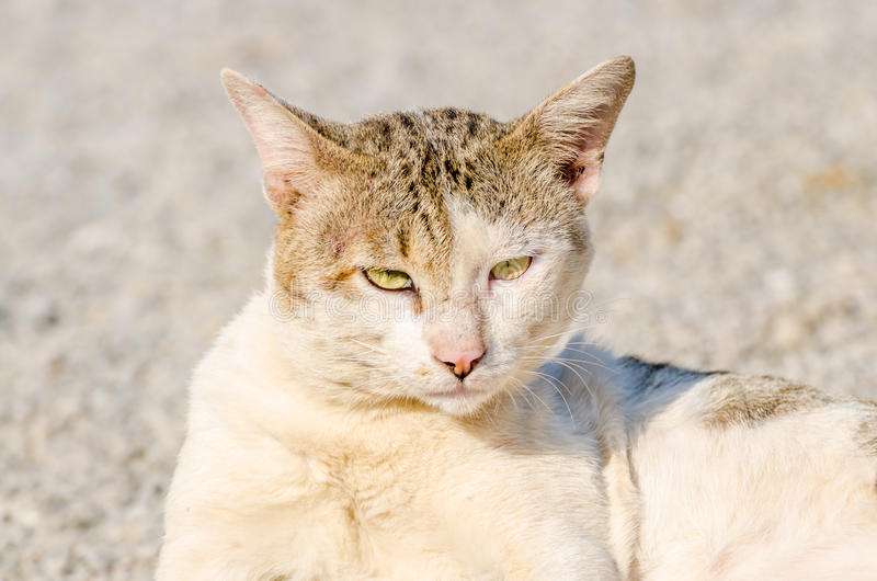 Siam-Katze stockbild