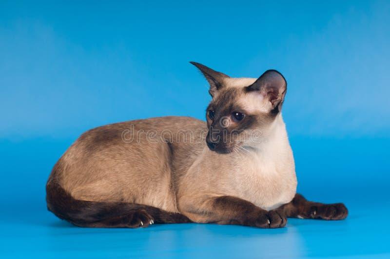 Siam-Katze auf Blau lizenzfreie stockfotos