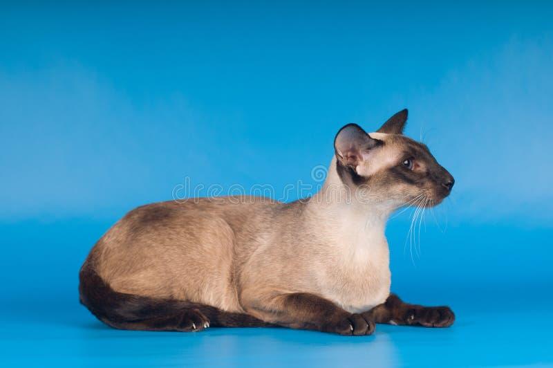 Siam-Katze auf Blau stockbild