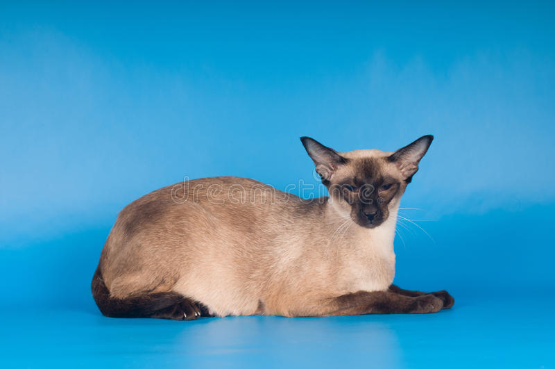 Siam-Katze auf Blau lizenzfreie stockfotografie