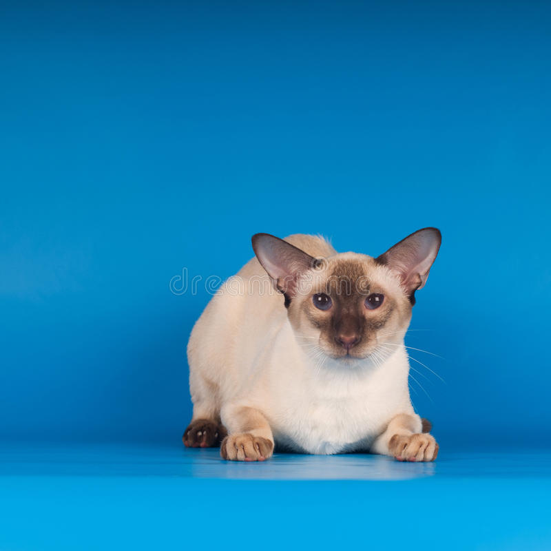 Siam-Katze auf Blau stockfotos
