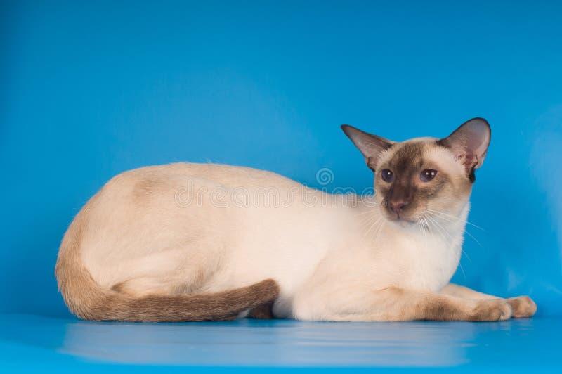 Siam-Katze auf Blau stockfoto