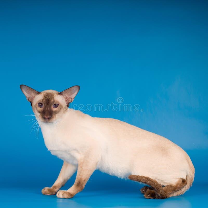 Siam-Katze auf Blau lizenzfreies stockfoto