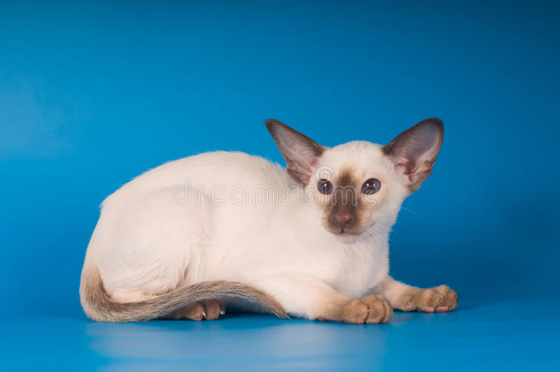 Siam kitten portrait on blue background. Siam lying kitten portrait on blue background looking at camera royalty free stock images