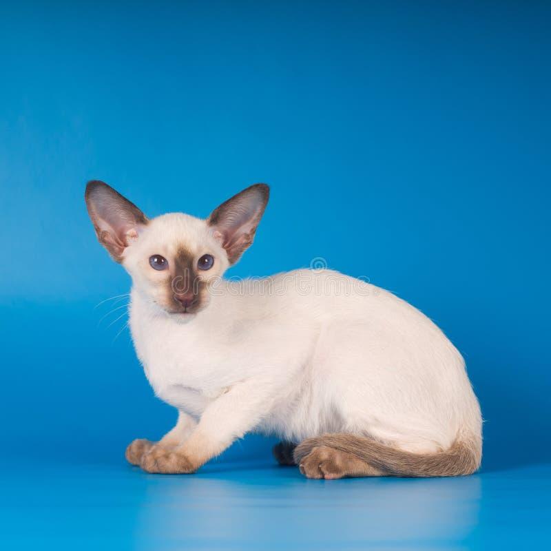 Siam kitten portrait on blue background. Siam sitting kitten portrait on blue background looking at camera stock photo