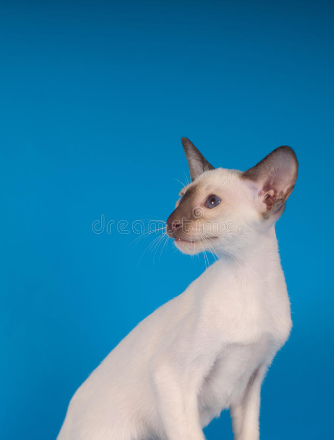 Siam kitten portrait on blue background. Siam sitting kitten portrait on blue background profile stock images