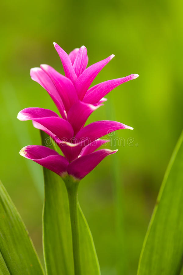 Free Siam Tulip Royalty Free Stock Photography - 33000707
