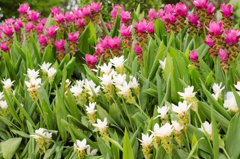 Siam Tulip lizenzfreies stockfoto