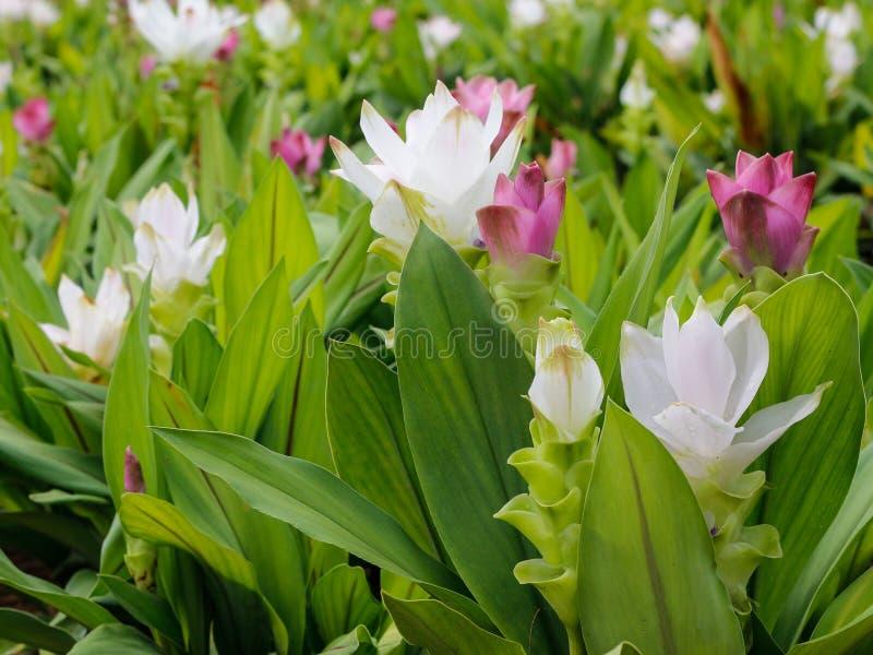 Siam Tulip fotografie stock libere da diritti