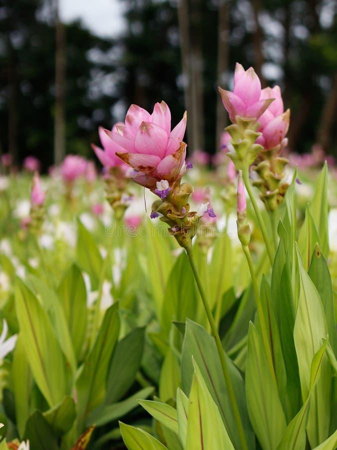 Siam Tulip immagini stock