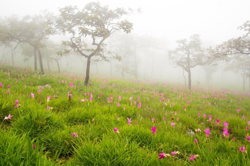 Siam Tulip royalty-vrije stock afbeelding