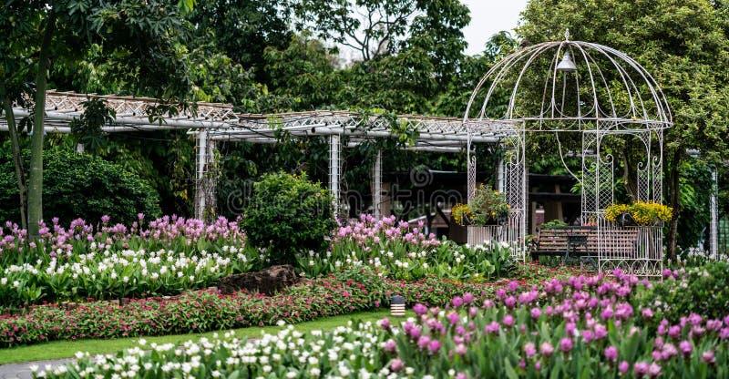 Siam Tulip, der im Garten blüht lizenzfreie stockfotografie