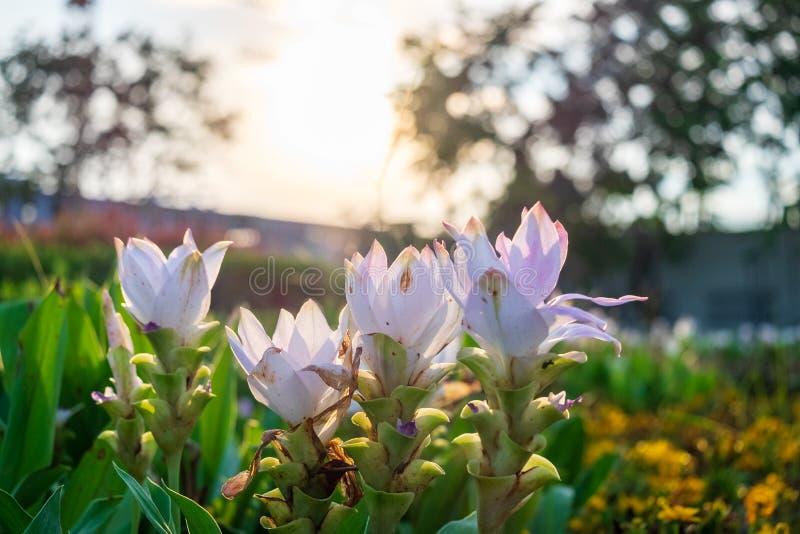 Siam Tulip in the evening light. The Siam Tulip in the evening light royalty free stock photography