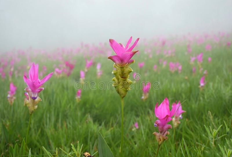 Siam Tulip-Feld lizenzfreie stockfotos