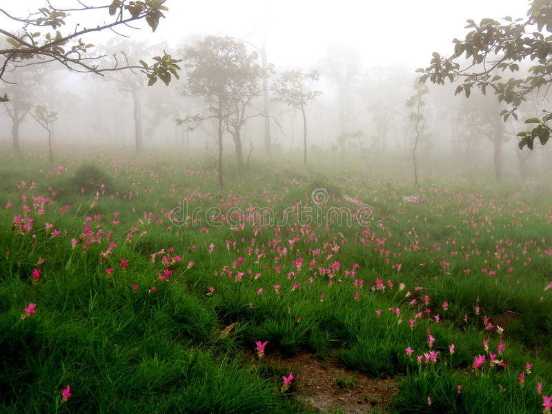 Siam Tulip flower. Field in the fog steam brume stock photo