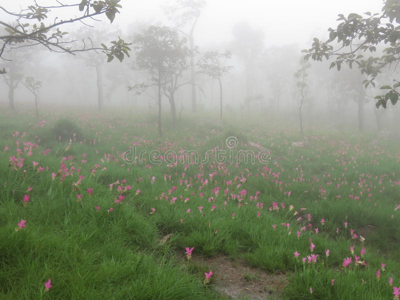 Siam Tulip flower. Field in the fog steam brume royalty free stock photos