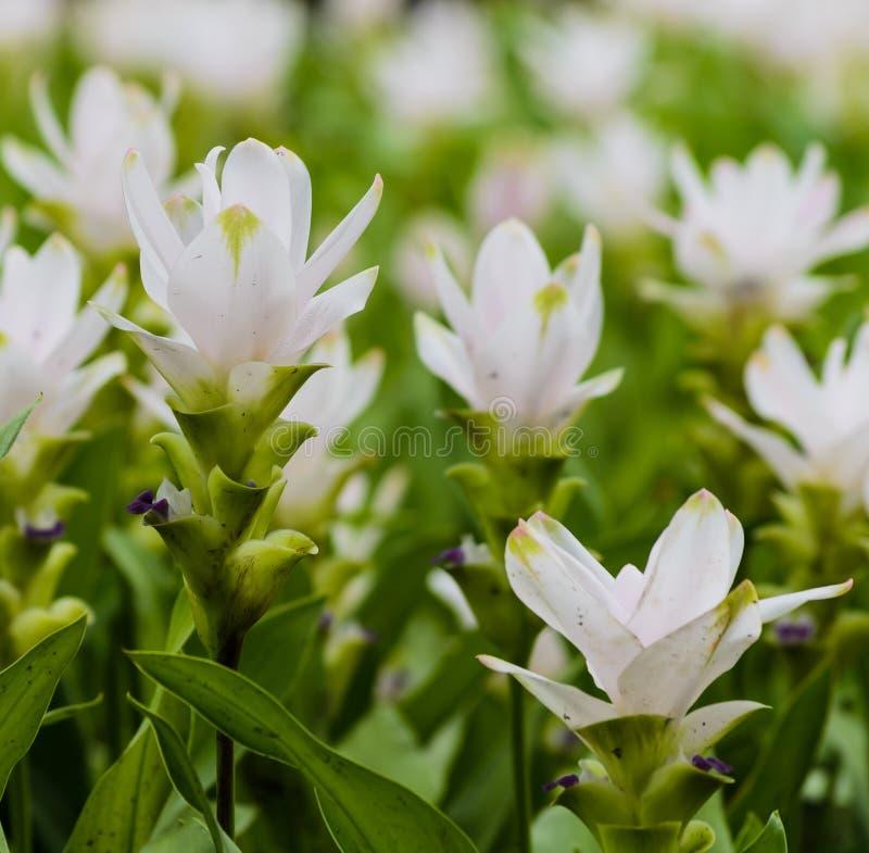 Siam tulip flower royalty free stock photos