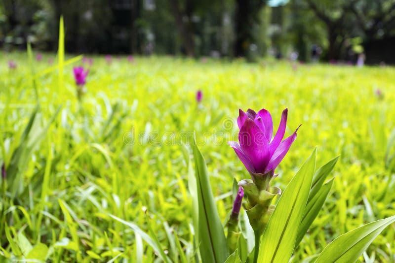 Siam Tulip- oder Kurkumasessilis in der Wiese stockfotos