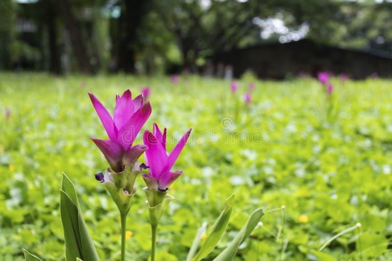 Siam Tulip- oder Kurkumasessilis in der Wiese stockbilder