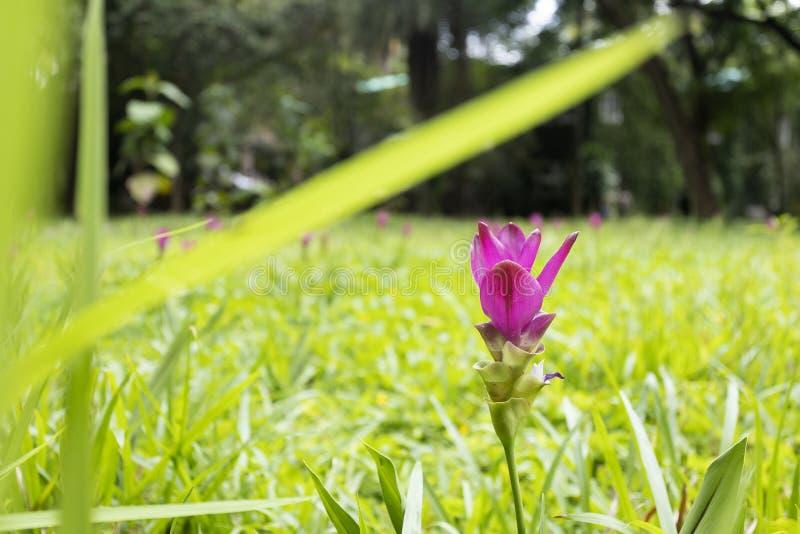 Siam Tulip- oder Kurkumasessilis in der Wiese stockfoto
