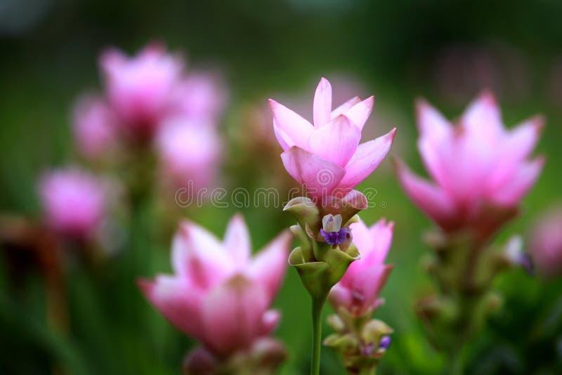 Siam Tulip - Thai flower. It's maybe called Curcuma alismatifoli royalty free stock photo