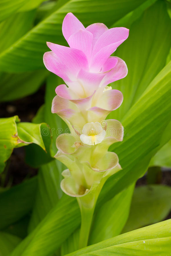 Siam tulipan obraz royalty free