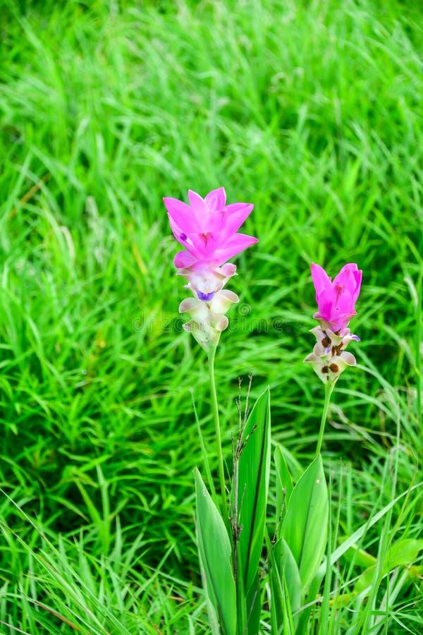 Siam tulipan fotografia royalty free