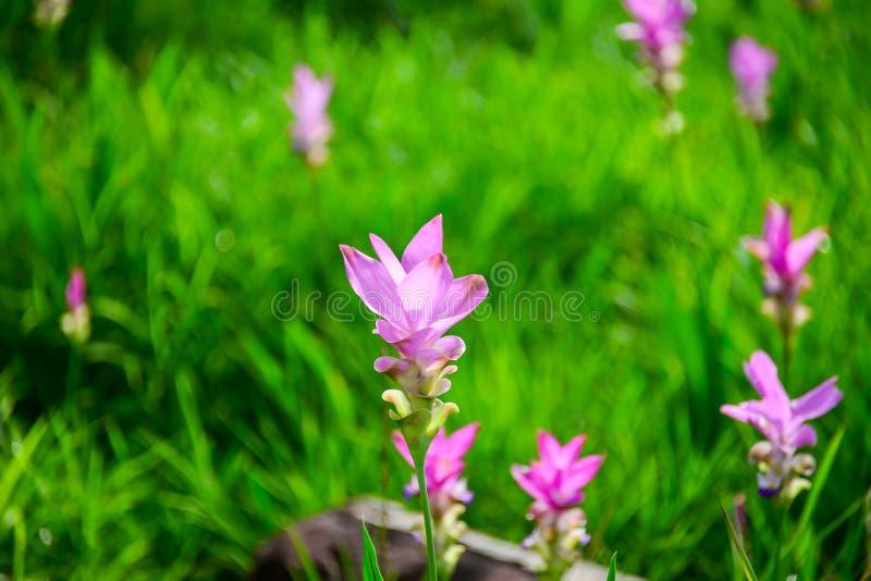 Siam tulipan obraz stock