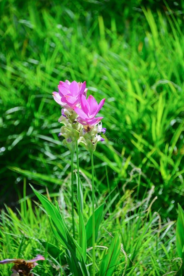 Siam tulipan zdjęcia stock