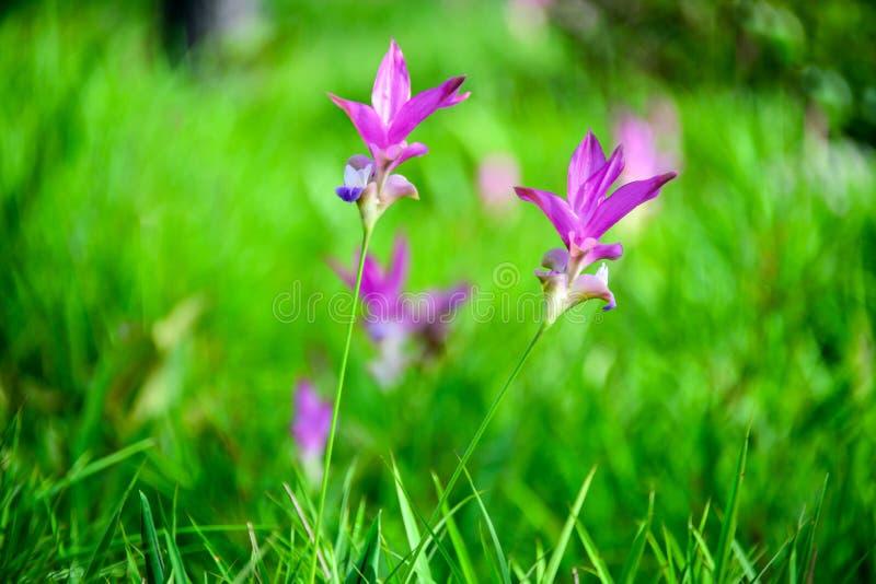 Siam tulipan zdjęcie stock