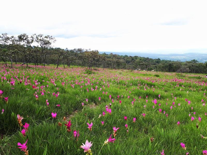 Siam Tulips royalty-vrije stock afbeeldingen