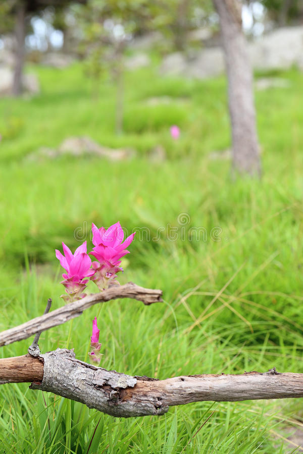 Siam-Tulpe, Sommertulpe, Kurkumablume, Paar der schönen rosa Blume stockbilder