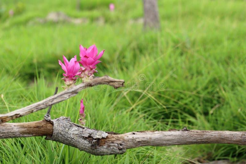 Siam-Tulpe, Sommertulpe, Kurkumablume, Paar von rosa Blumen stockfoto
